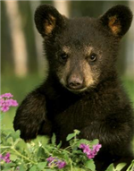 Image of a brown bear cub