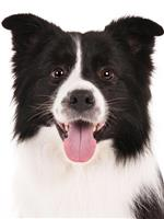 Image of a black and white dog